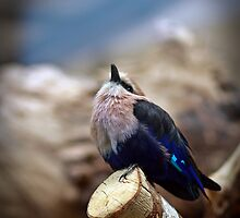 African Blue Bellied Roller by celesteodono