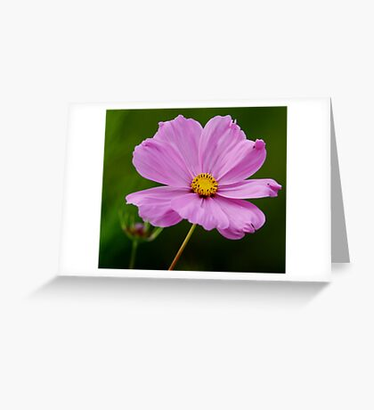 Pink Cosmos With a Dash of Yellow Greeting Card
