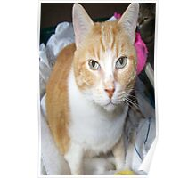 Our Ginger Cat Poster
