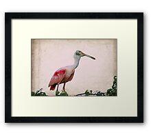 Male Roseate Spoonbill Framed Print