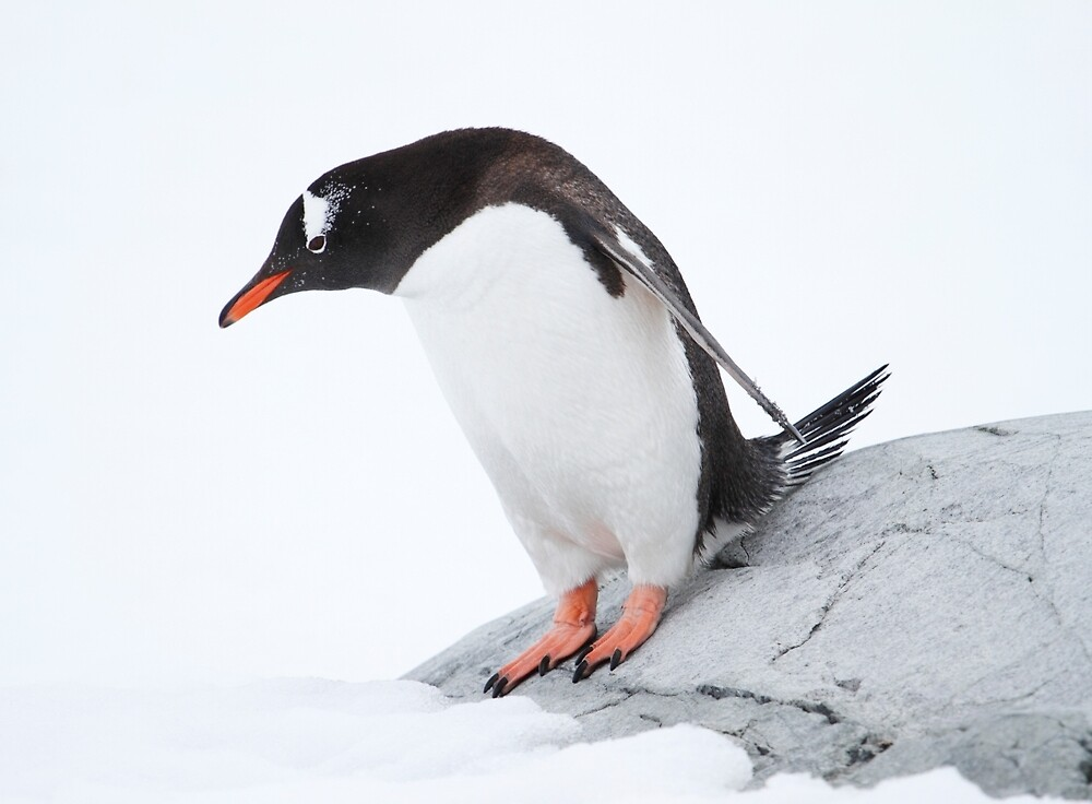 One small step for penguin kind... by DianaC