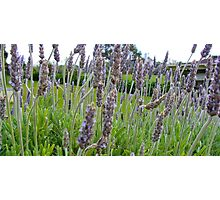 Lavender farms Photographic Print