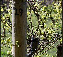 Row 29 - Pinot Noir by Di Jenkins