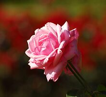 Rose Bokeh by vanStaffs