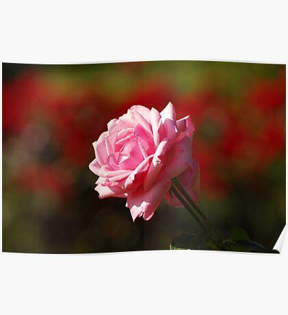 Rose Bokeh Poster