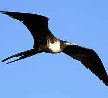 Pretty Frigatebird