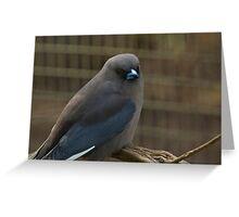 Black-faced Woodswallow, Cleland Wildlife Park Greeting Card
