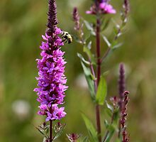 Purple Loosestrife by Wolf Read