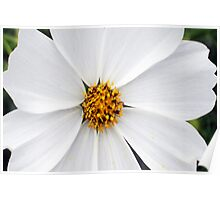 Cosmos White Flower Poster