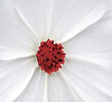 Cosmos Red by Pam Moore