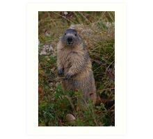 Marmot Art Print