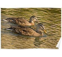 Female Mallards  Poster