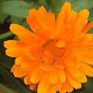 Glorious Bloom by supernan