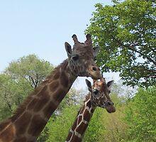 Giraffes by Nolipo