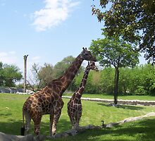 Two Giraffes by Nolipo