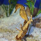 Sea Horse by Robin D. Overacre