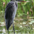GEORGE THE HERON by H & B Wildlife  Nature Photography