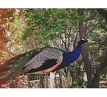 Austin, Texas Peacocks at a Wedding Photographic Print