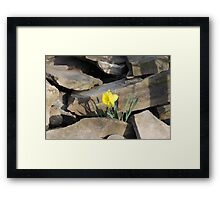 Daffodil on the Rocks Framed Print