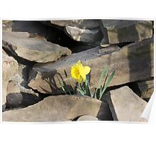Daffodil on the Rocks Poster