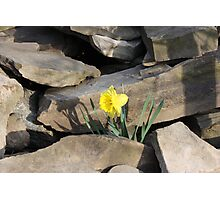 Daffodil on the Rocks Photographic Print
