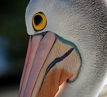 Pelican by margotk