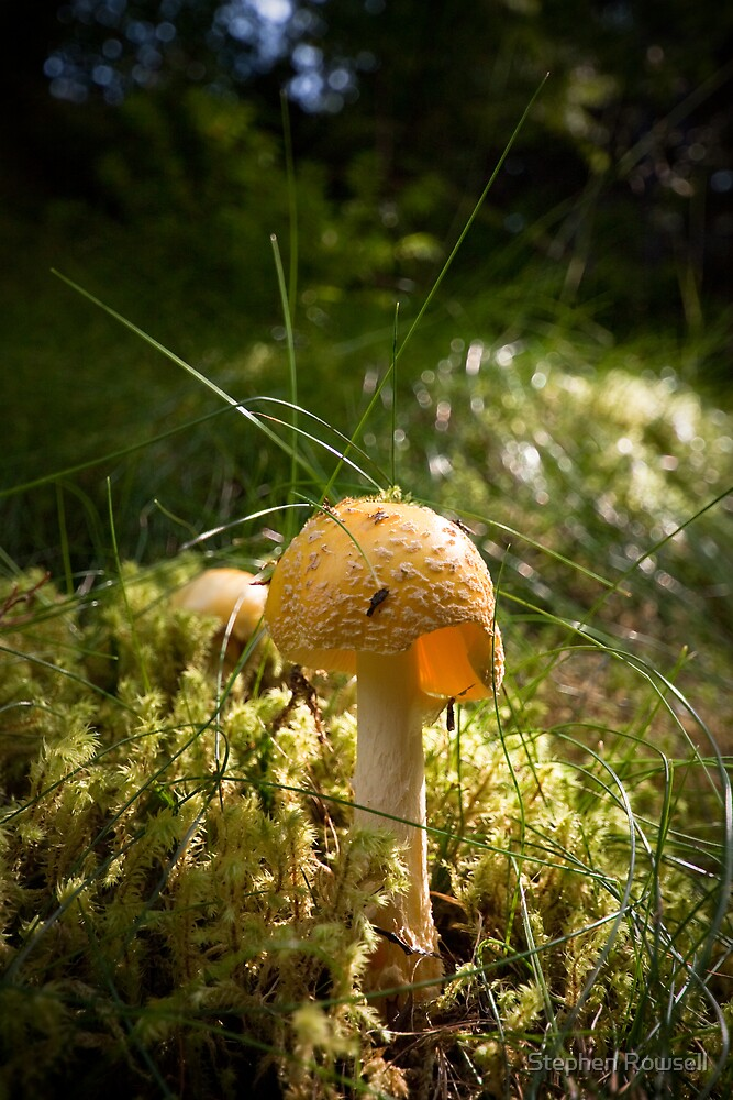 Yellow Amanita by Stephen Rowsell