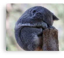 Koala sleeping Canvas Print