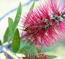 Bottle brush delight by felicityT