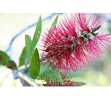 Bottle brush delight Photographic Print