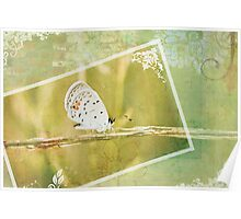 Polyommatus Icarus Poster