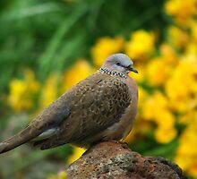 Dove by Kerry  Hill