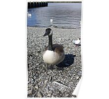 Windermere Canadian Goose Poster