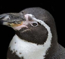 Humbolt Penguin Portrait (Cotswold) by CreativeEm