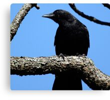 Crow Looking for that Next Handout Canvas Print