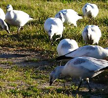 Snow Geese by MaeBelle