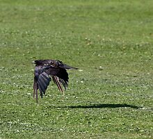 Crow Flapping Over a Grassy Sea by Wolf Read