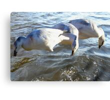 Snow Geese on Water Canvas Print