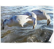 Snow Geese on Water Poster