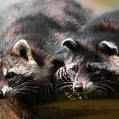 two racoons by peterwey