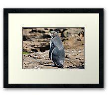 Yellow-eyed Penguin #2, Curio Bay, New Zealand Framed Print