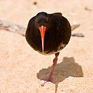 Variable Oystercatcher, Abel Tasman by christopher hodgson