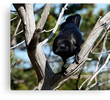 Crow Ready to Leap  Canvas Print