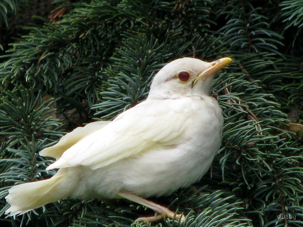 Young Albino Robin by swaby