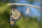 Monarch Butterfly &amp; Chrysalis by Renee Dawson