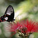 Dinnertime - swallowtail butterfly by Jenny Dean