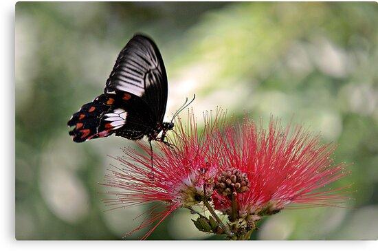 Dinnertime - swallowtail butterfly by Jenny Dean