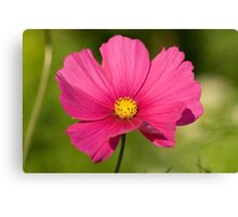 Pink Cosmea Canvas Print