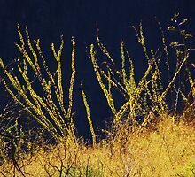 Neon Ocotillos by gcampbell