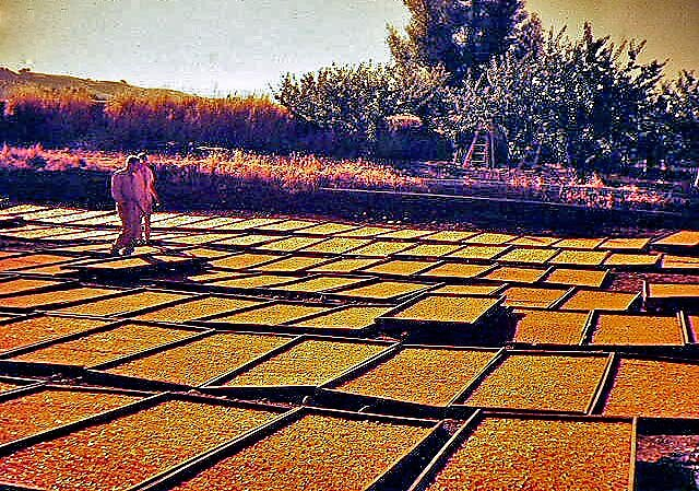 Apricots drying on trays in the California Sun by Edward Henzi